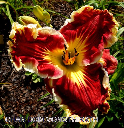 Photo of Daylily (Hemerocallis 'Chan Dom Vongthirath') uploaded by Lalambchop1