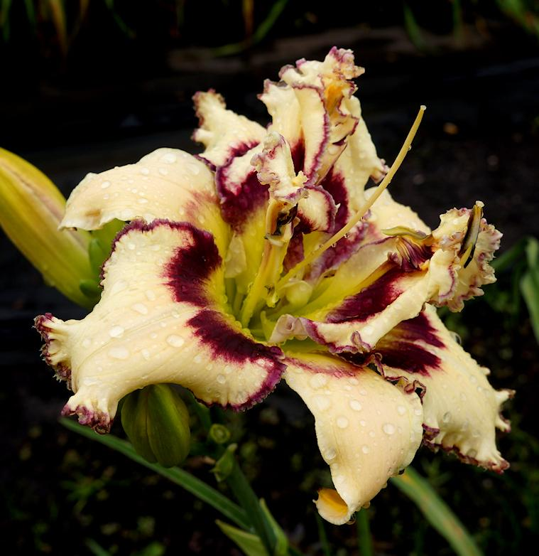 Photo of Daylily (Hemerocallis 'Sandwich on the Porch Roof') uploaded by Lalambchop1
