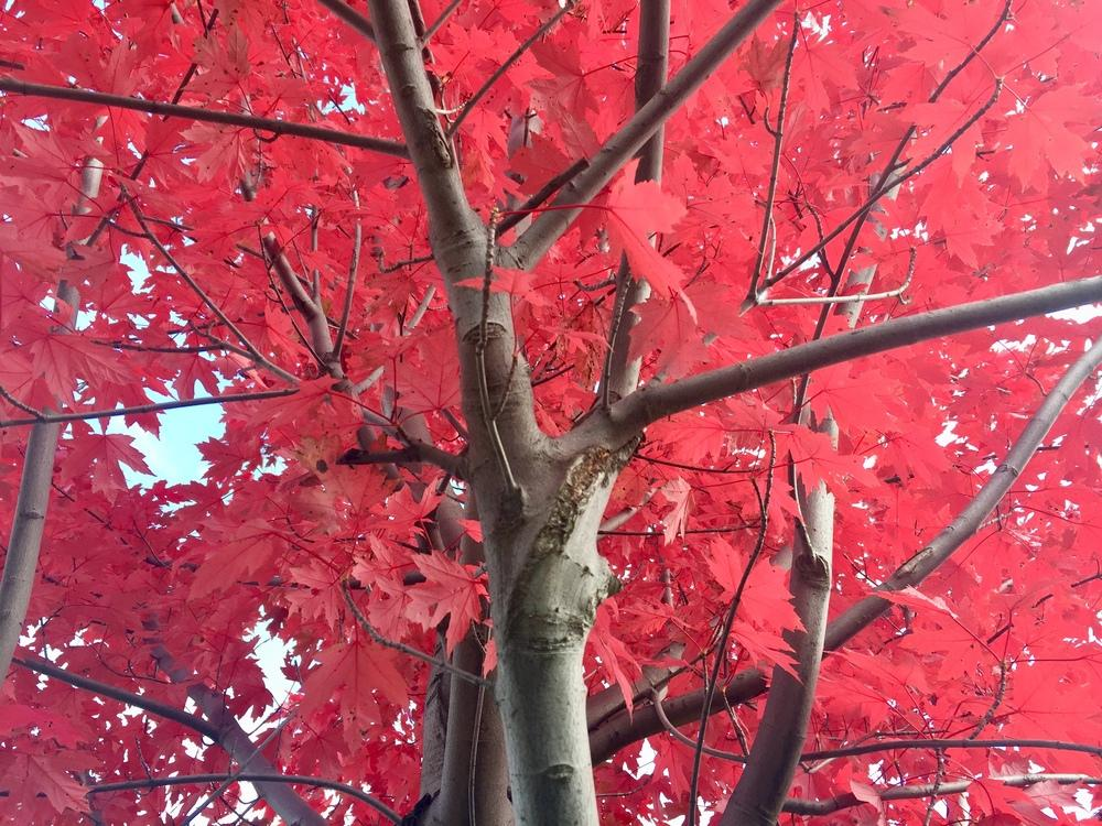 Photo of Japanese Maple (Acer palmatum) uploaded by PoppyLady420