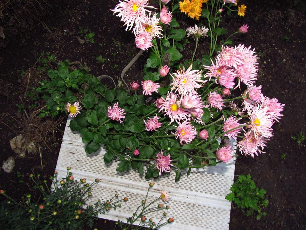 Photo of Chrysanthemum 'Centerpiece' uploaded by jmorth