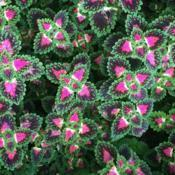 Location: My garden, central NJ, Zone 7ADate: 2017-10-15Coleus Lava Rose