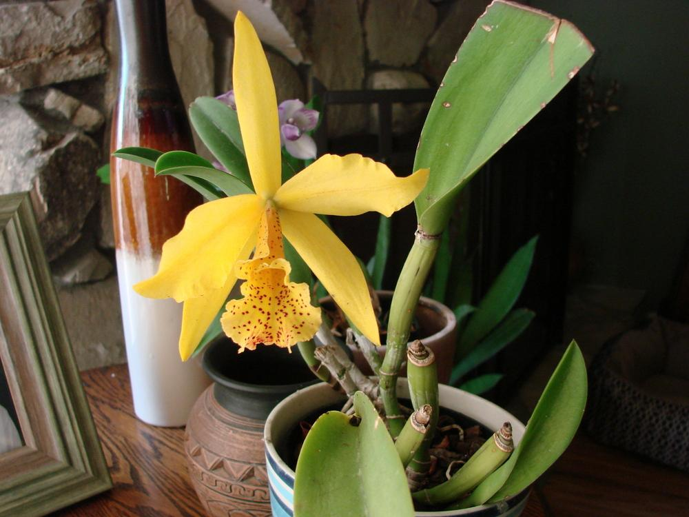 Photo of Orchid (Rhynchobrassoleya Copper Queen) uploaded by Ted5310