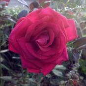 Location: My garden, Pequea, Pennsylvania 17565Date: 2017-10-16Hybrid Tea; unknown ID. My first rose; gift from Ethel Rutt