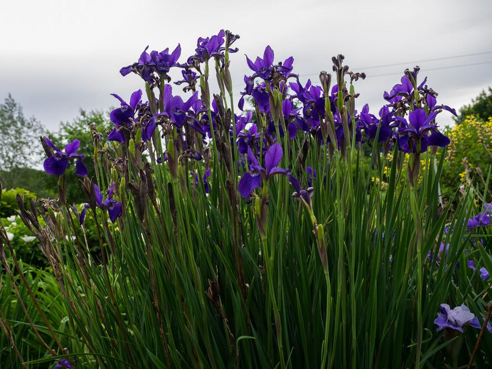 Photo of Siberian Iris (Iris 'Caesar's Brother') uploaded by frankrichards16
