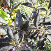 Location: gardenDate: 2017-08-26Stem, Leaves and fruit are black. As the fuit ripens it will turn