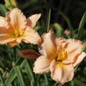 "Location: Clinton, Michigan 49236Date: 2017-10-20""Hemerocallis 'Fairy Tale Pink', 2017, Pink [Daylily],"