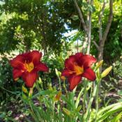 "Location: Clinton, Michigan 49236Date: 2017-10-20""Hemerocallis 'Chicago Apache', 2017, Red [Daylily], he"