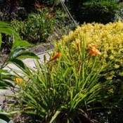 "Location: Clinton, Michigan 49236Date: 2017-10-20""Hemerocallis 'Bertie Ferris', 2017, Small Orange [Daylily], hem-"