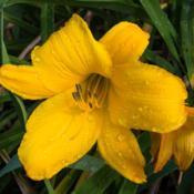 "Location: Clinton, Michigan 49236Date: 2017-10-20""Hemerocallis 'Buttered Popcorn', 2017, Yellow [Daylily"