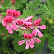 Location: All pictures taken in/on my gardens/greenhouse/propertyRed-Flowering form