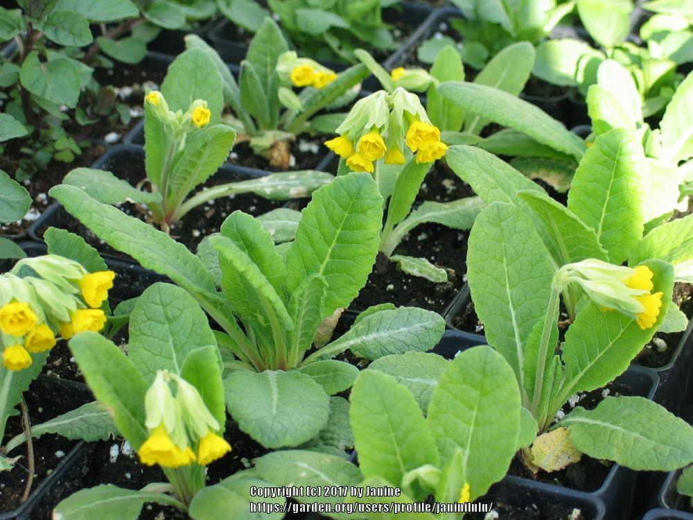 Photo of Cowslip (Primula veris 'Katy McSparron') uploaded by janinilulu