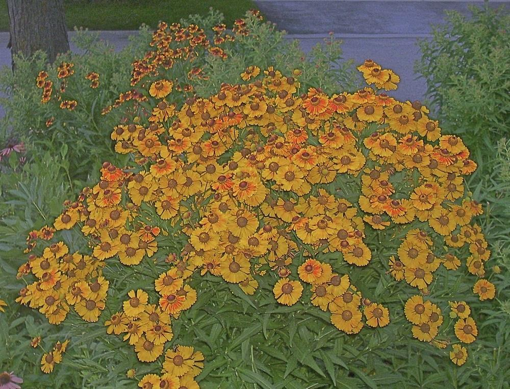 Photo of Helen's Flower (Helenium autumnale) uploaded by SunnyBorders