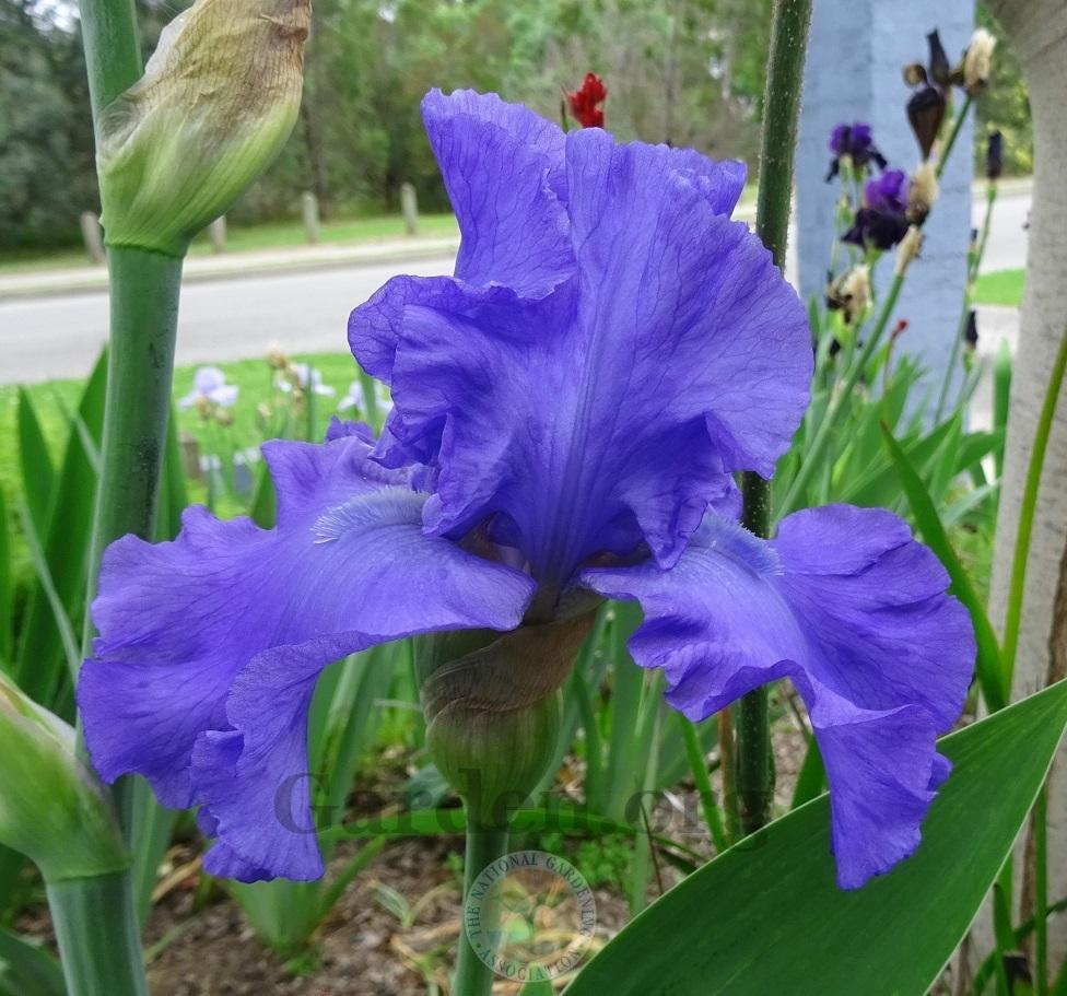 Photo of Tall Bearded Iris (Iris 'Mer du Sud') uploaded by Totally_Amazing