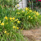"Location: Clinton, Michigan 49236Date: 2017-10-21""Hemerocallis 'Happy Returns', 2017, Lemon Yellow [Dayl"