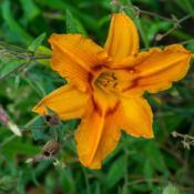 "Location: Clinton, Michigan 49236Date: 2017-10-21""Hemerocallis 'Holiday Wreath', 2016, Yellow/Orange #Daylily, hem"