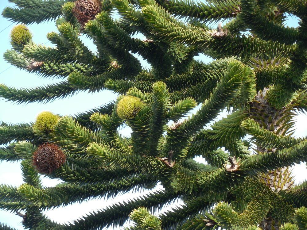 Photo of Monkey Puzzle Tree (Araucaria araucana) uploaded by wcgypsy