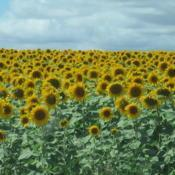Location: Chaumussay, FranceDate: 2017-08-04Fields full of sunflowers in this area of France