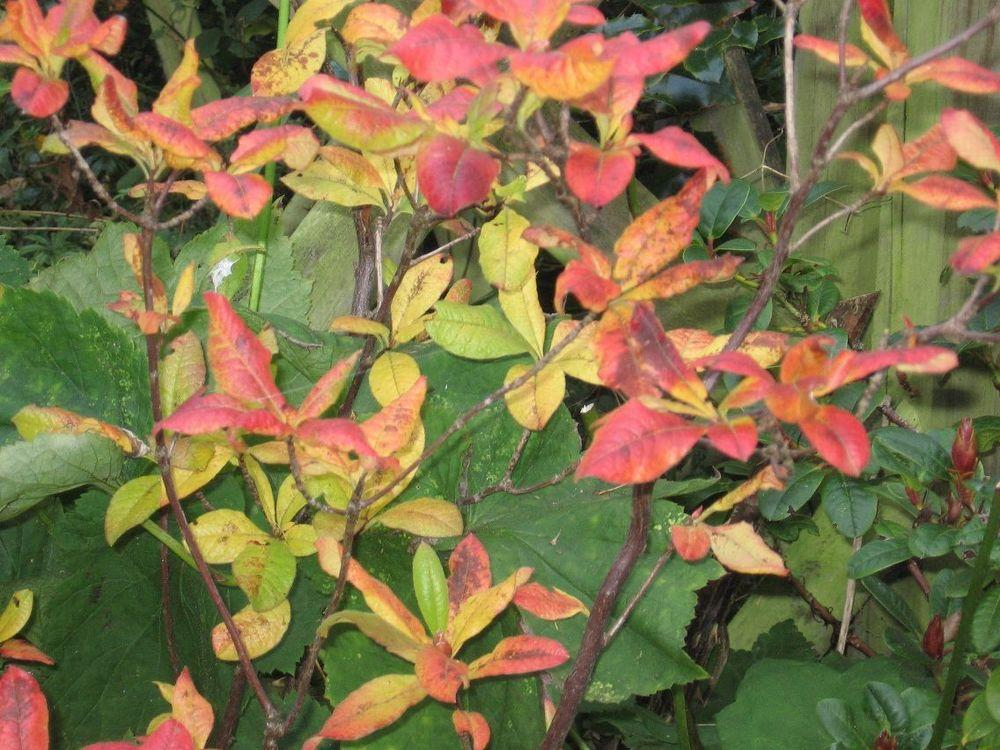 Photo of Deciduous Azalea (Rhododendron 'Golden Lights') uploaded by Yorkshirelass