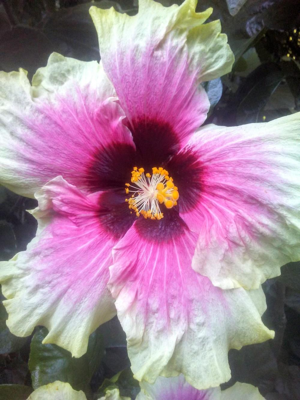 Hibiscus Plant Care And Collection Of Varieties Garden