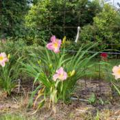 "Location: Clinton, Michigan 49236Date: 2017-10-22""Hemerocallis 'Pleasant Ridge', 2017, [Lavender] [Daylily], hem-u"