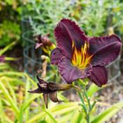 "Location: Clinton, Michigan 49236Date: 2017-10-22""Hemerocallis 'Mateus', 2017, [Rose] Wine [Daylily], he"