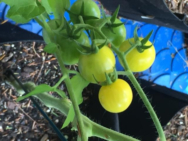 Photo of Tomato (Solanum lycopersicum 'Aunt Ruby's Yellow Cherry') uploaded by gngrbluiz