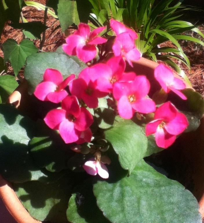 Photo of Florist Kalanchoe (Kalanchoe blossfeldiana) uploaded by Blossloveplantsall