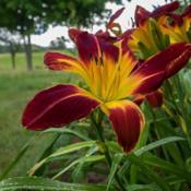 "Location: Clinton, Michigan 49236Date: 2017-10-23""Hemerocallis 'Ruby Spider', 2017, Red [Daylily], hem-ur -oh-KAL-"
