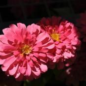 Date: 2017-07-18Zinnias by Lantern Light