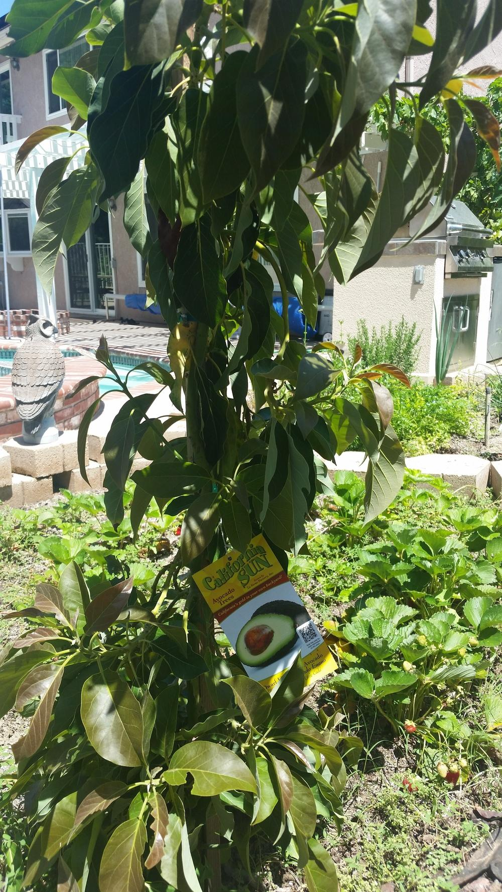 pruning fruit trees  pruning young avocado trees