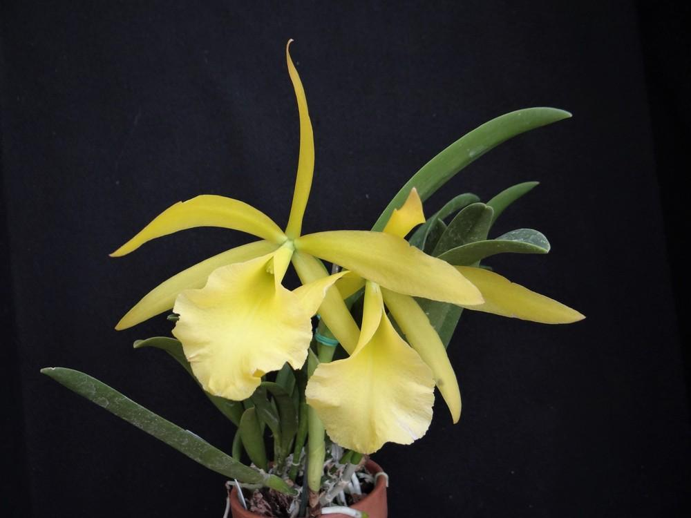 Photo of Orchid (Rhynchobrassoleya Sherrie Styles 'Son Shine') uploaded by hawkarica