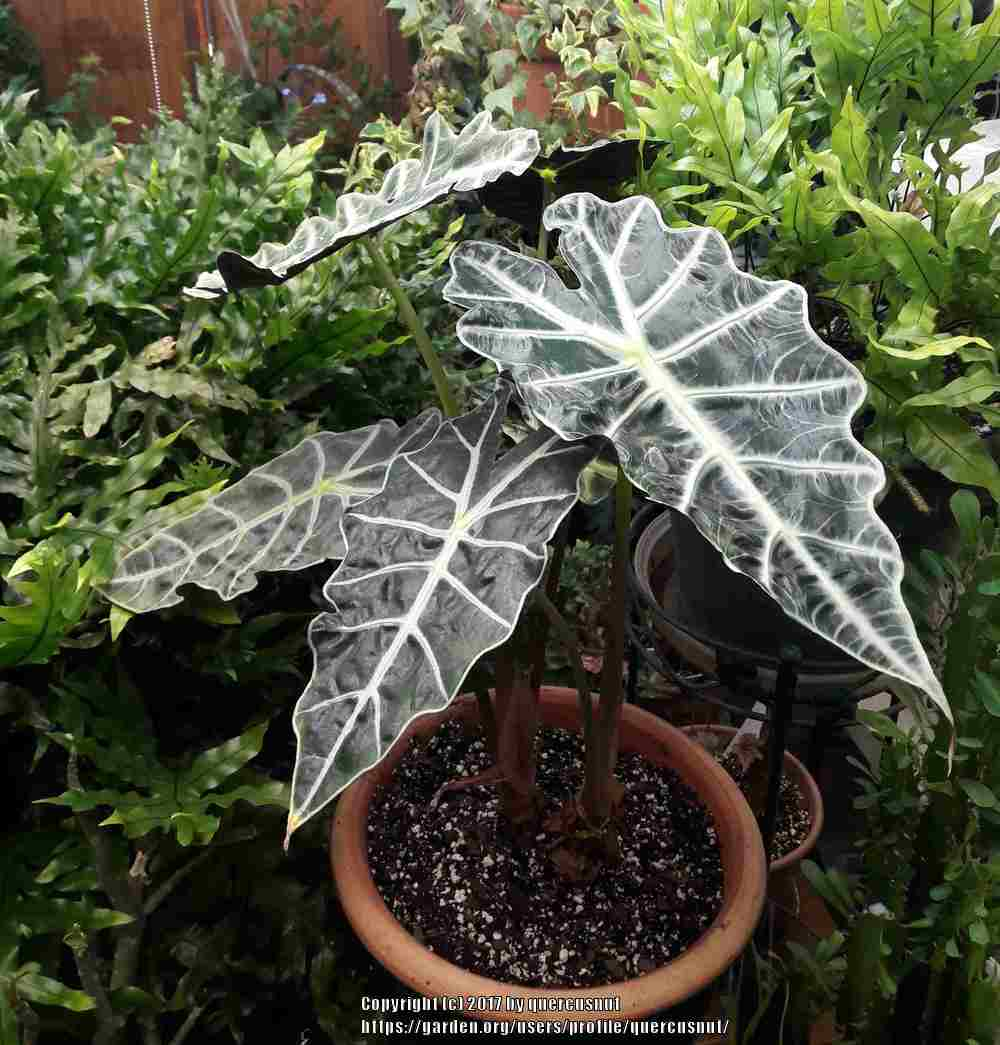 how to grow alocasia polly
