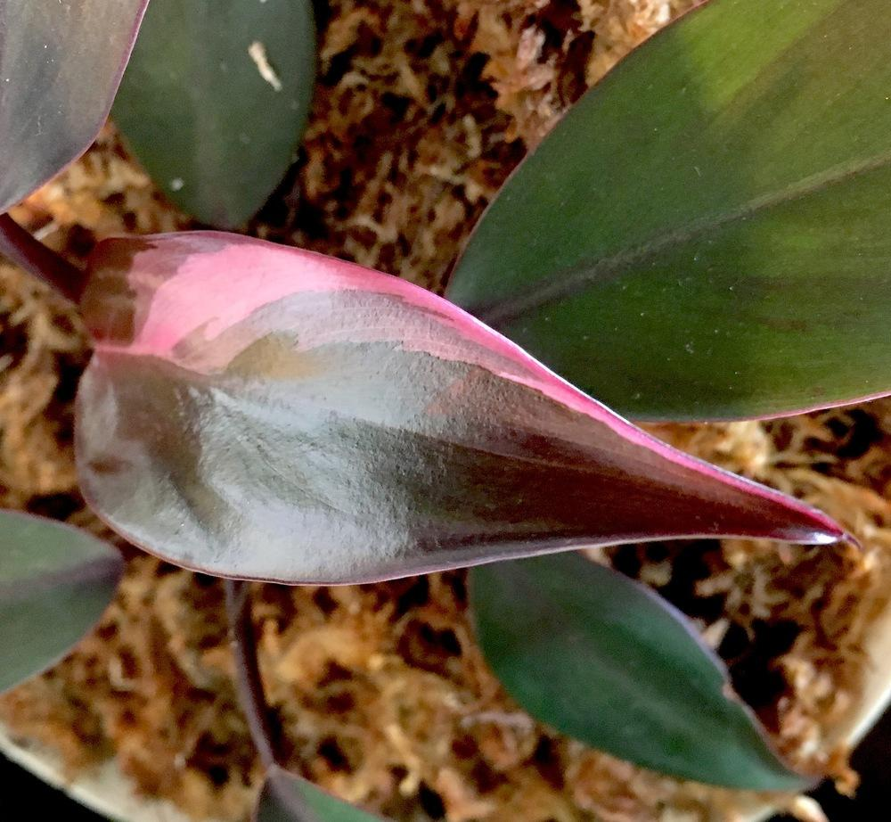 Photo of Blushing Philodendron (Philodendron erubescens 'Pink Princess') uploaded by Hagbard