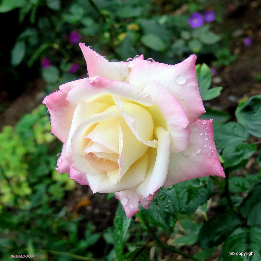 Photo of Rose (Rosa 'Brigadoon') uploaded by MargieNY
