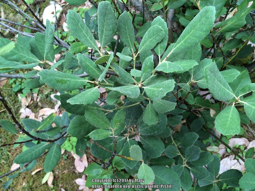 Photo of Shrub Tanbark Oak (Notholithocarpus densiflorus var. echinoides) uploaded by Pistil