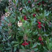 Location: Seattle, WADate: 2014-11-29in November, tree both flowers and has red fruit from l