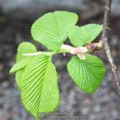 Location: Vancouver, B.C., CanadaDate: 2014-05-02New leaves in early May