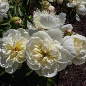 "Location: Clinton, Michigan 49236Date: 2017-10-26""Paeonia 'Primevere' (4-JAP-W) Chinese or lactiflora [P"