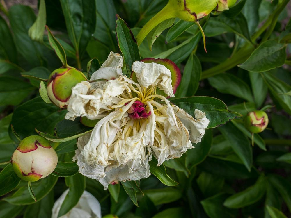 Photo of Chinese Peony (Paeonia lactiflora 'Primevere') uploaded by frankrichards16