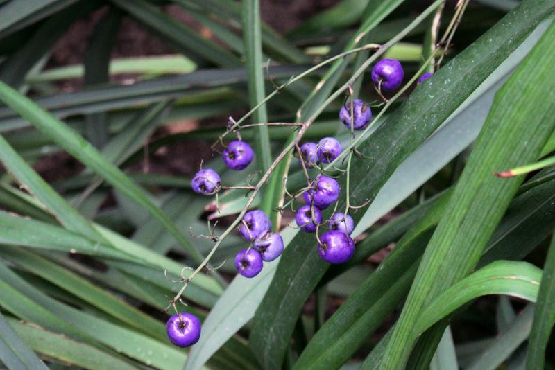 Photo of Tasman Flax Lily (Dianella tasmanica) uploaded by RuuddeBlock