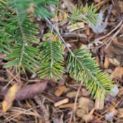 "Location: Clinton, Michigan 49236Date: 2017-10-27""Abies balsamea, 2017, [Balsum Fir], AY-beez bal-SAM-me"