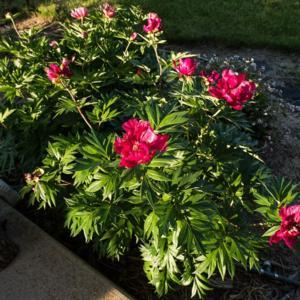 """Paeonia 'Unique', 2017, (3-SL-R) Itoh Hybrid [Peony], pay-OHN-ee"