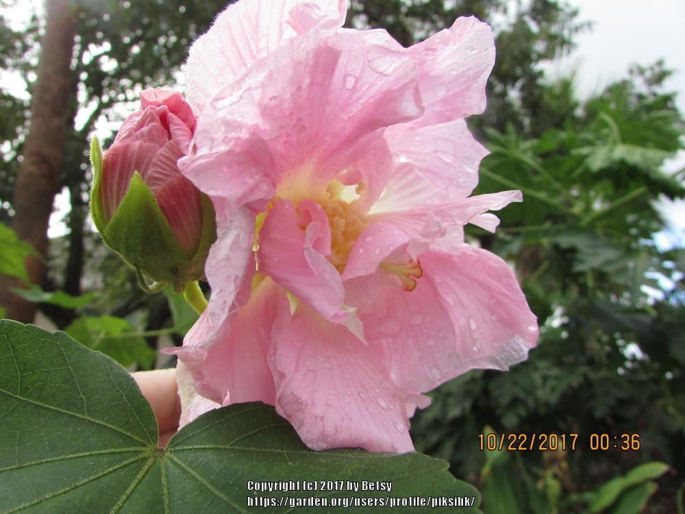 Photo of Confederate Rose (Hibiscus mutabilis) uploaded by piksihk