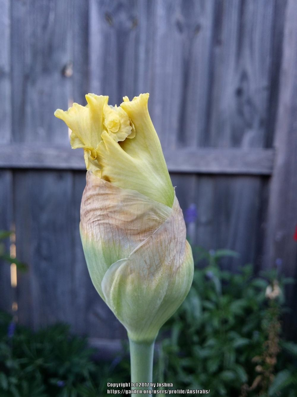 Photo of Tall Bearded Iris (Iris 'Diamond Broker') uploaded by Australis