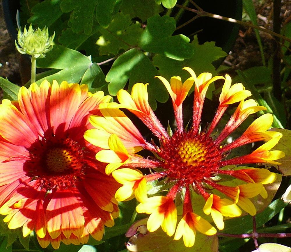 Photo of Blanket Flower (Gaillardia 'Fanfare') uploaded by HemNorth