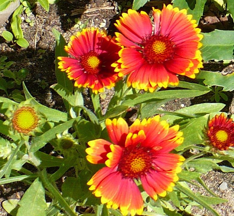 Blanket flowers plant care and collection of varieties garden browse recent blanket flowers images add or edit informational text about this plant mightylinksfo