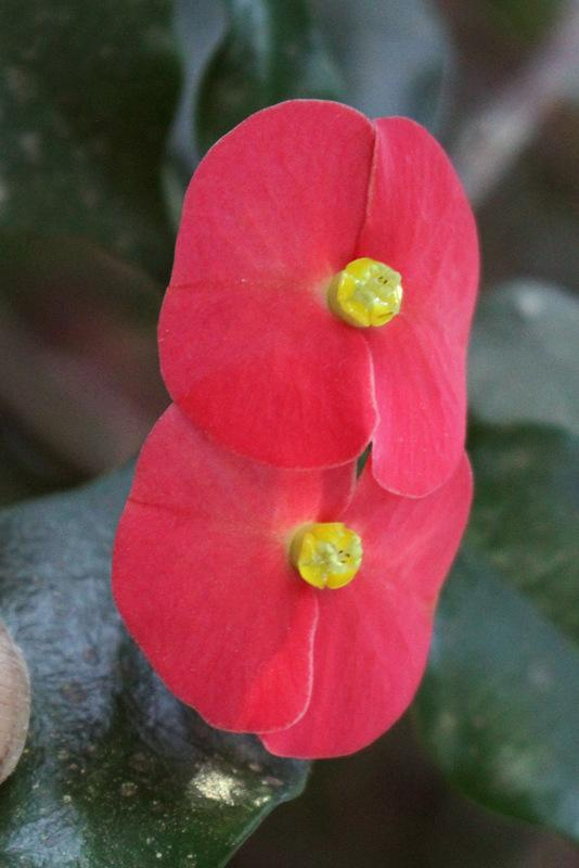 Photo of Thornless Euphorbia (Euphorbia geroldii) uploaded by RuuddeBlock