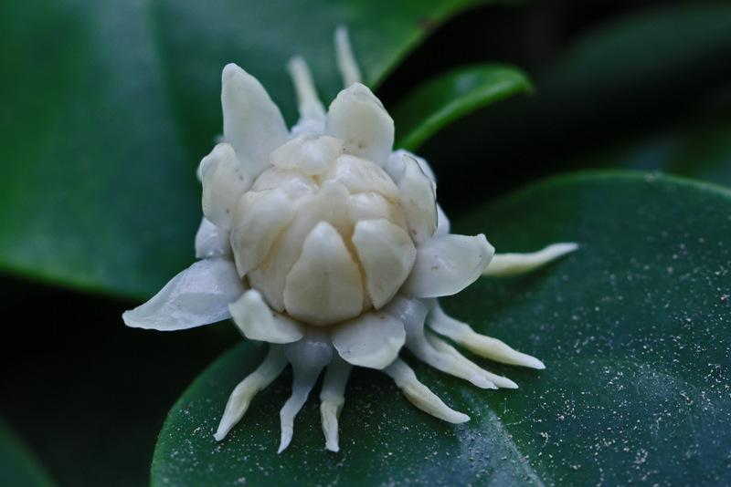 Photo of Bolwarra (Eupomatia laurina) uploaded by RuuddeBlock