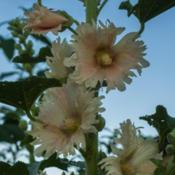 Location: Clinton, Michigan 49236Date: 2017-10-28Alcea rosea, 2017, Single [Hollyhock], al-SEE-uh ROE-ze
