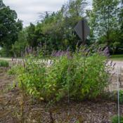 Location: Clinton, Michigan 49236Date: 2017-10-28Agastache 'Black Adder', 2015, giant hyssop, uh-GASS-tuh-kee, 2x2